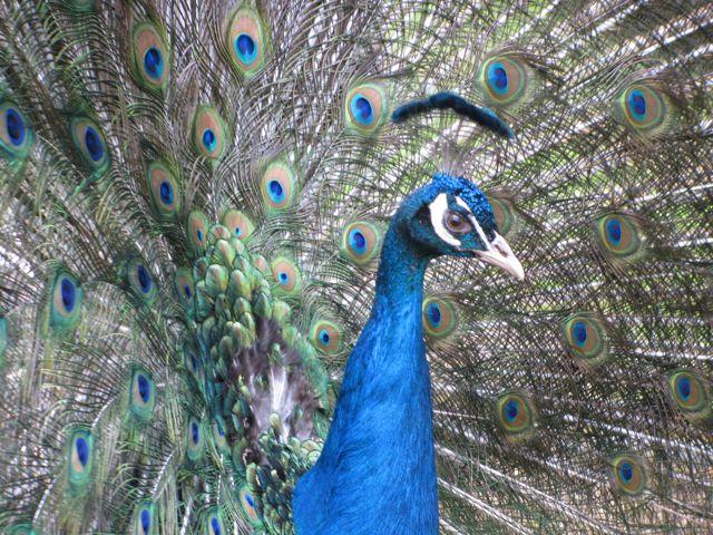 Pfau Tierpark Waschleithe