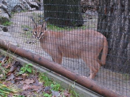 Karakal, Zoo der Minis Aue