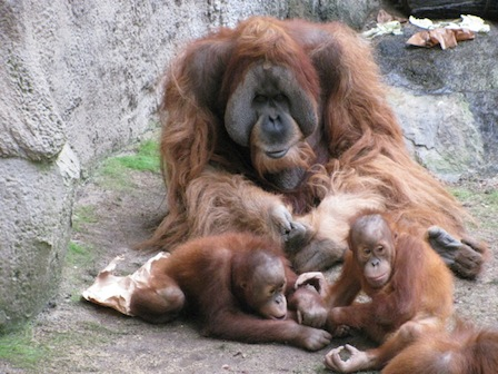 Bimbo, Pongoland Zoo Leipzig