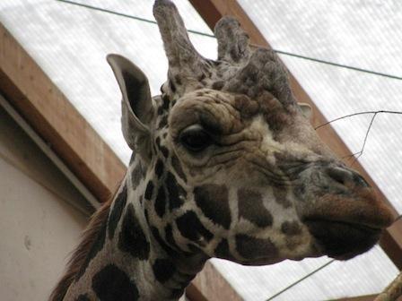 Giraffe Zoo Leipzig
