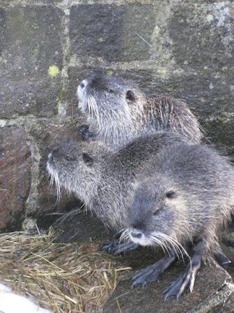 Nutrias, Tierpark Waschleithe