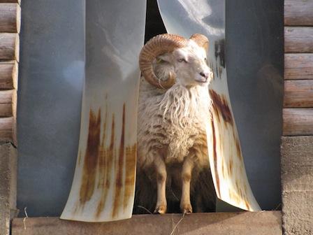 Schaf, Tierpark Waschleithe