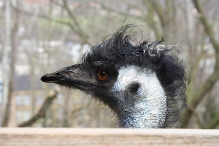 Zoo der Minis Aue, Emu