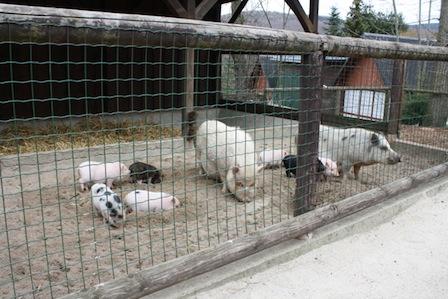 Zoo der Minis Aue, Schweine
