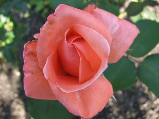 IMG_4246_rose