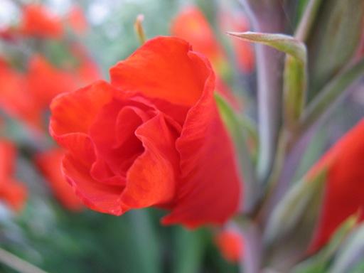 IMG_4299_gladiole